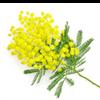 گل آکاسیای دکارنس