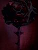 Sa Majeste la Rose